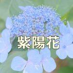 京都の紫陽花撮影スポット