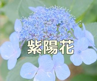 京都・紫陽花の写真スポット