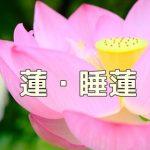 京都 蓮と睡蓮の撮影スポット