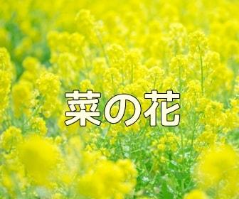 京都・菜の花の写真スポット