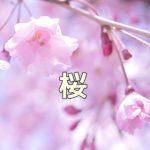京都 桜の撮影スポット