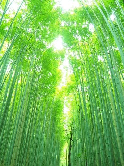 フォトジェニックな竹林の小径(竹林の道)