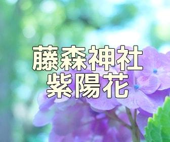 京都・紫陽花の撮影スポット 藤森神社