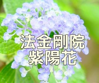 京都・紫陽花の撮影スポット 法金剛院