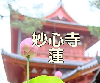 京都・蓮と睡蓮の撮影スポット・妙心寺退蔵院