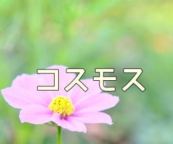 京都・コスモスの写真スポット