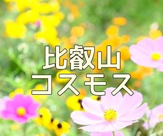 京都・コスモスの撮影スポット ガーデンミュージアム比叡