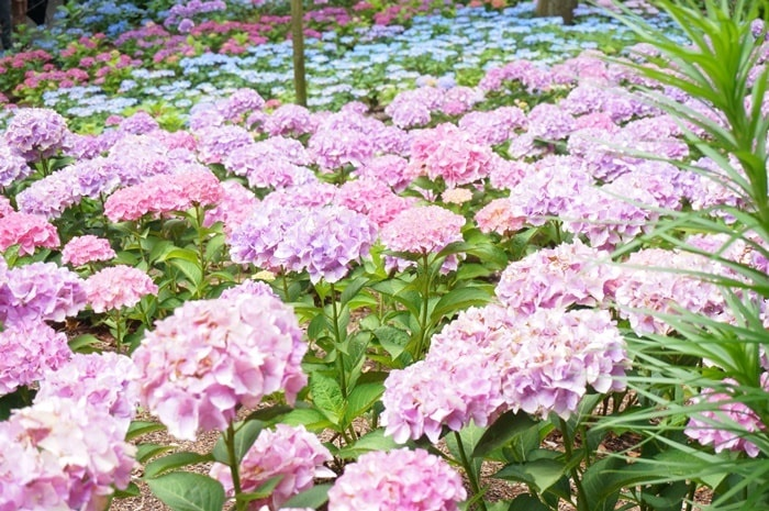京都の紫陽花撮影スポット三室戸寺