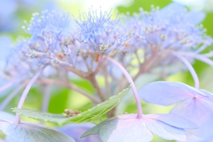 京都御苑の紫陽花の撮影スポット