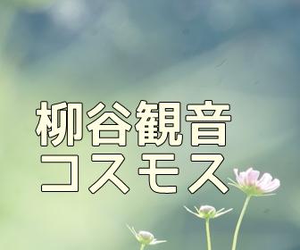 京都・コスモスの撮影スポット 柳谷観音