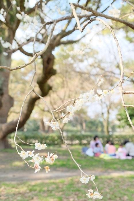 フォトジェニックな京都御所の梅