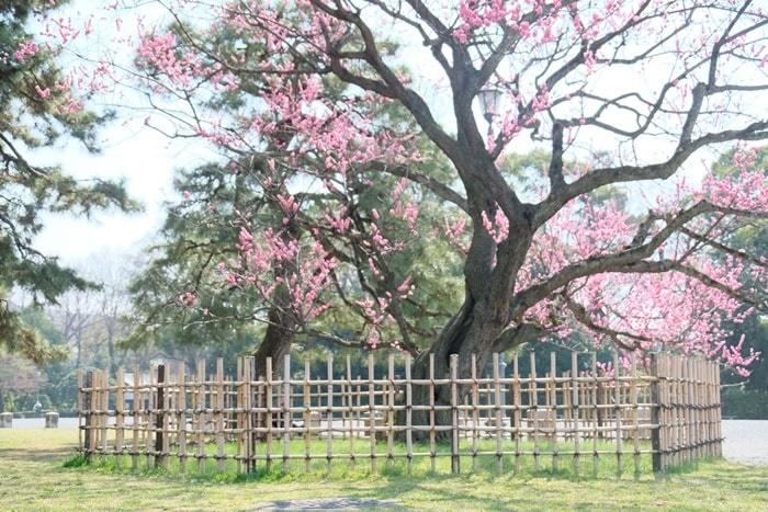 京都御所の黒木の梅