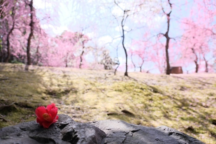 フォトジェニックな城南宮の梅と椿