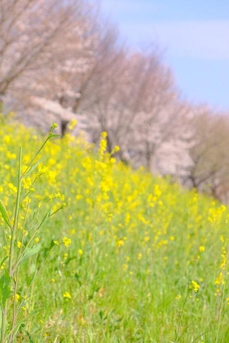 フォトジェニックな桜と菜の花の撮影スポット桂川