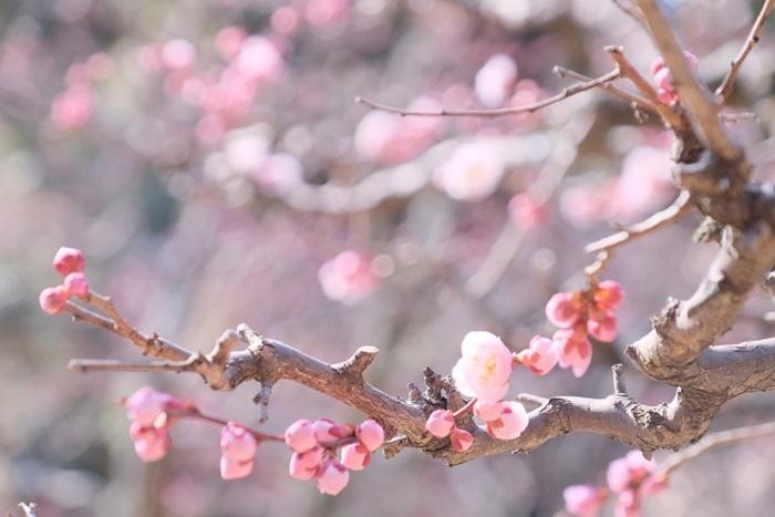 フォトジェニックな長岡天満宮の梅