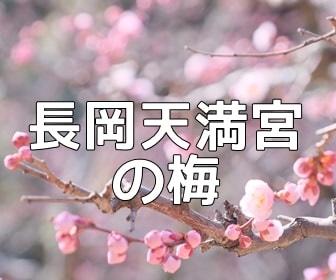 京都・梅の撮影スポット 長岡天満宮