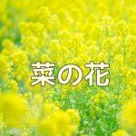 京都・菜の花の撮影スポット