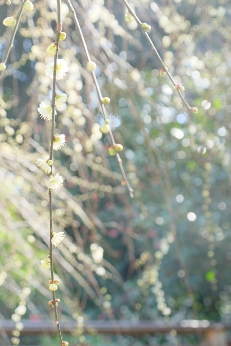 梅宮大社の梅の撮影スポット