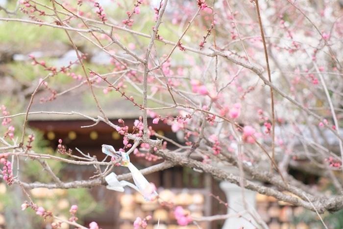 梅宮大社の梅の見頃と混雑