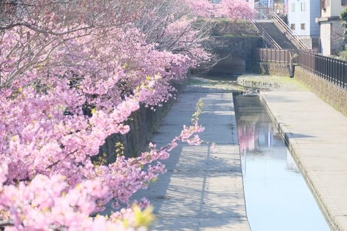 フォトジェニックな淀水路の河津桜と菜の花