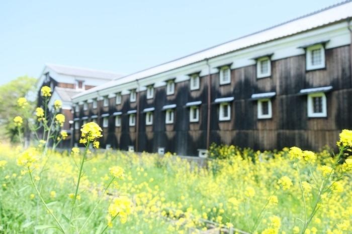 京都菜の花の撮影スポット松本酒造
