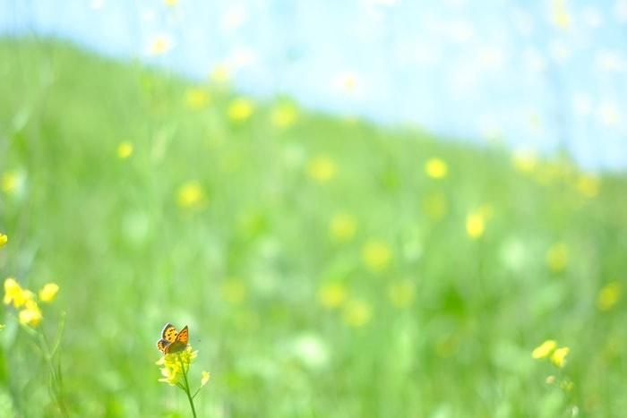 フォトジェニックな菜の花の撮影スポット・松本酒造
