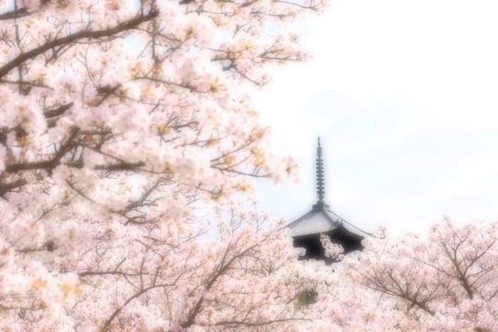 京都桜の撮影スポット 仁和寺