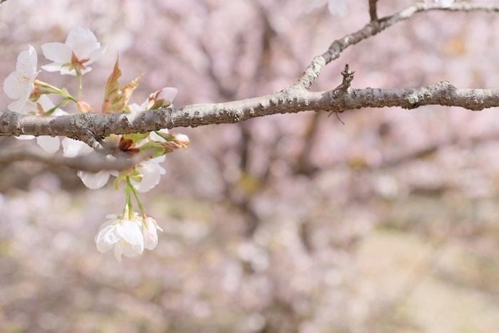 フォトジェニックな仁和寺の御室桜
