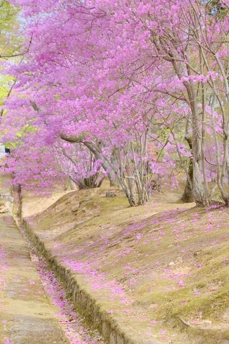フォトジェニックな仁和寺に御室桜