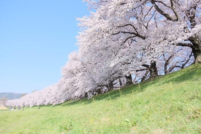 京都桜の撮影スポット 背割堤