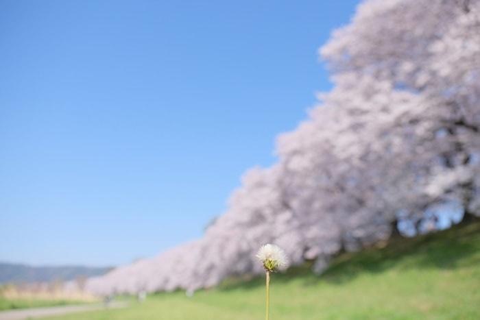 京都桜の撮影スポット 背割堤とは?