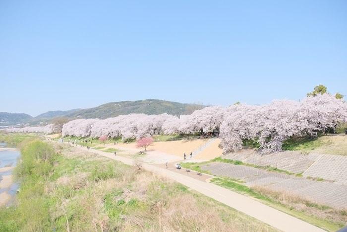 フォトジェニックな背割堤の桜