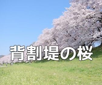 京都・桜の撮影スポット・背割堤