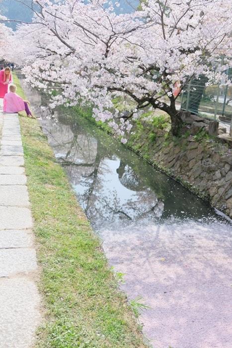 フォトジェニックな哲学の道の桜