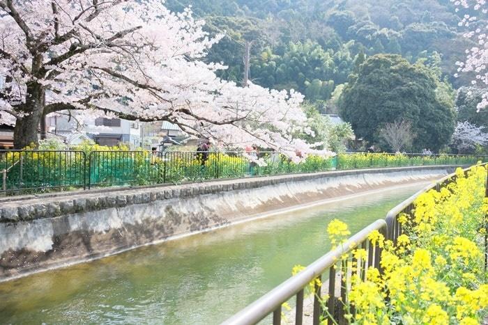 京都菜の花と桜の撮影スポット 山科疏水