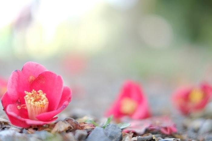 フォトジェニックな山科疏水の菜の花と桜