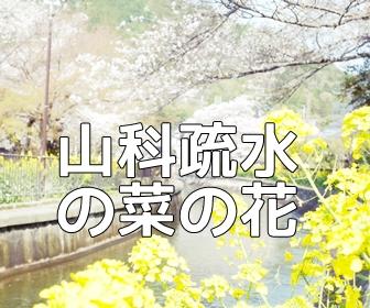 京都・桜の撮影スポット 山科疏水