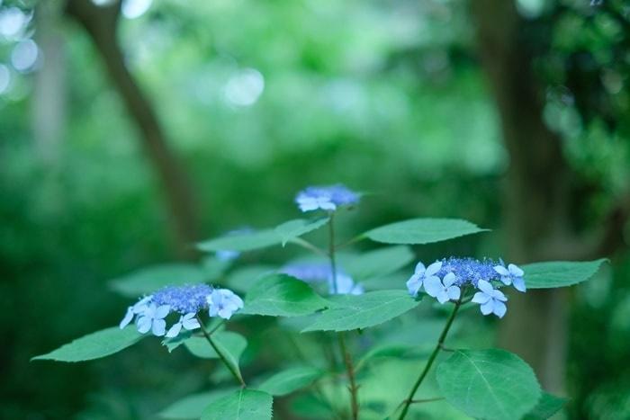 梅宮大社での紫陽花の撮影スポット