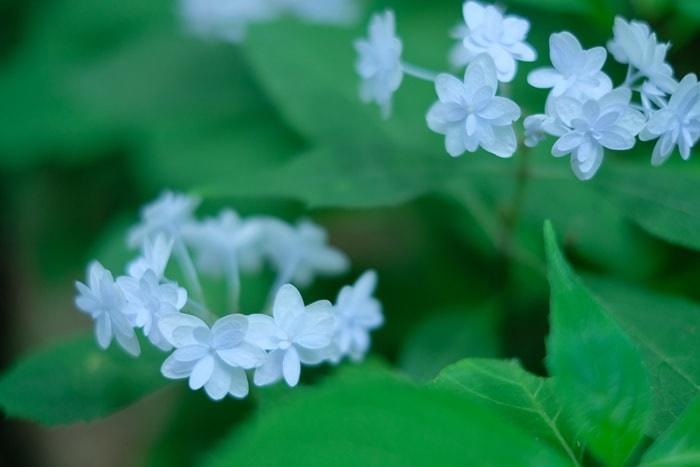 京都の紫陽花撮影スポット 梅宮大社