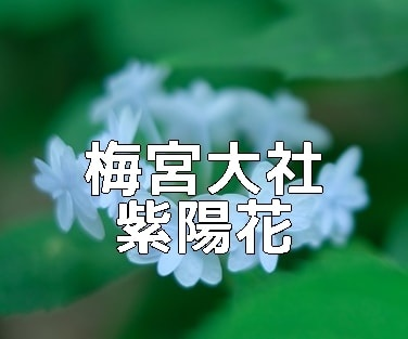京都・紫陽花の撮影スポット・梅宮大社