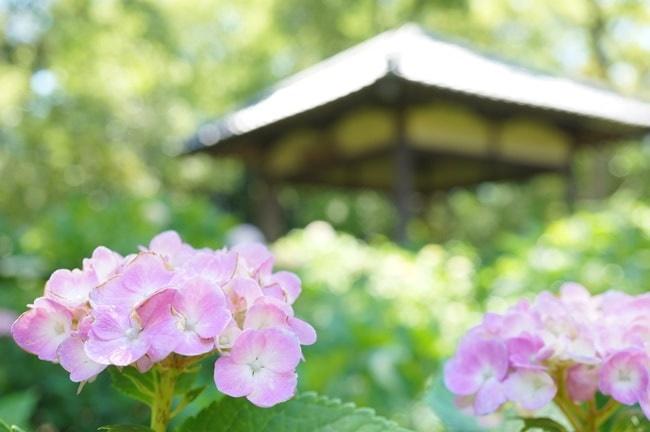 京都の紫陽花撮影スポット・藤森神社