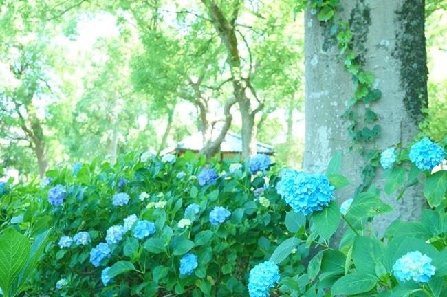 藤森神社の紫陽花撮影スポット
