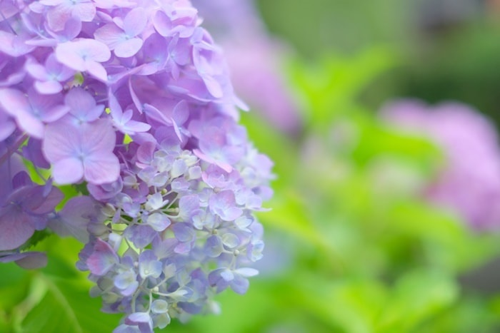 伏見濠川の紫陽花の撮影スポット