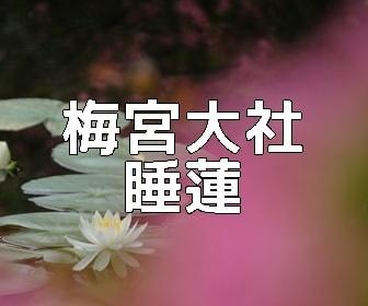 京都・スイレンの撮影スポット・梅宮大社