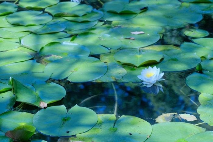 平安神宮の睡蓮の撮影スポット