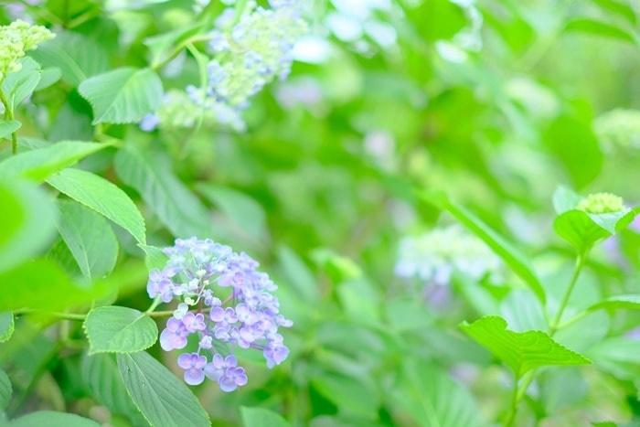 法金剛院の紫陽花 撮影スポット