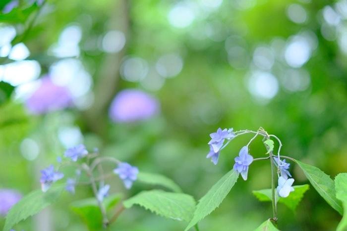 法金剛院の紫陽花のおすすめ度は