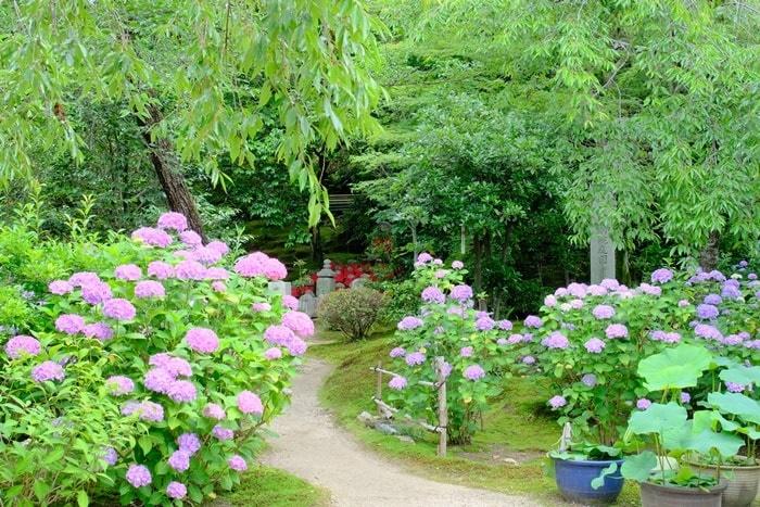 法金剛院の紫陽花の見頃と混雑