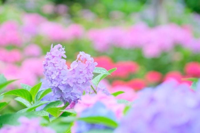 三室戸寺の紫陽花撮影スポット