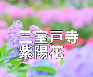 京都紫陽花の撮影スポット 三室戸寺
